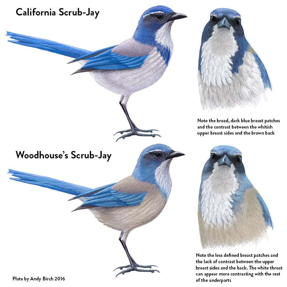 california and woodhouse u0027s scrub jay identification surfbirds