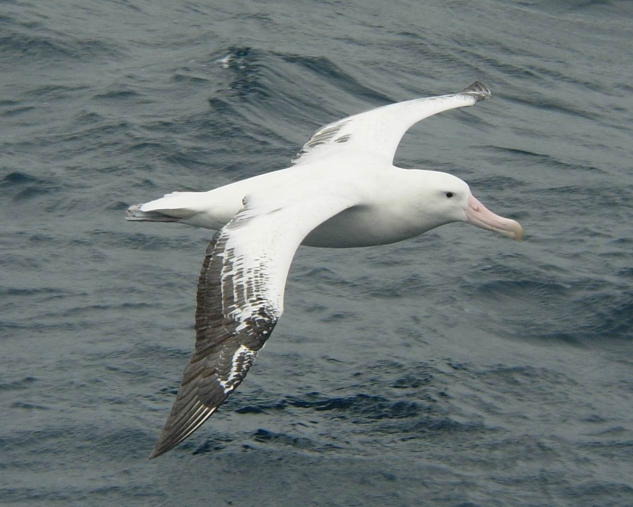 Wandering Albatross - Surfbirds Photo Albums