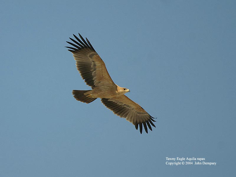 Tawny Eagle (Pale phase)