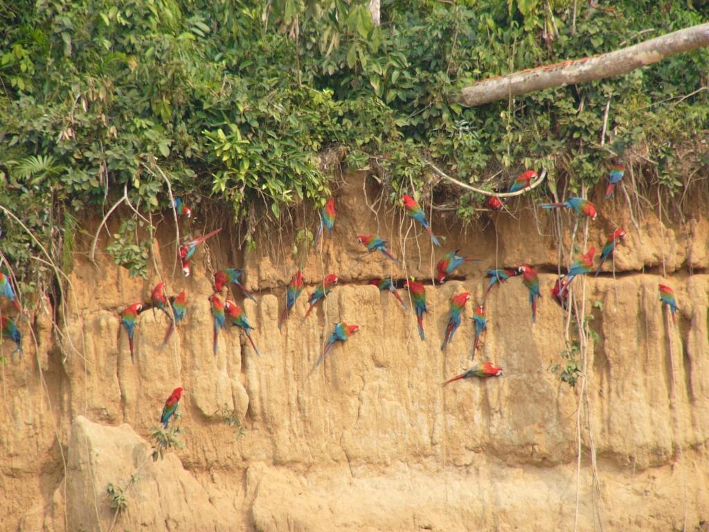 Parrot Lick Peru