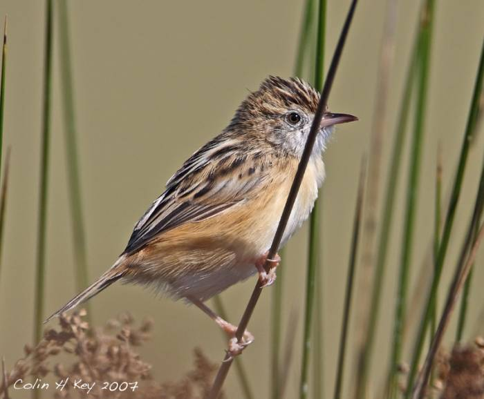 Fan-tailed Warbler  (Cisticola juncidis)  Lagoa dos Salgados, Algarve