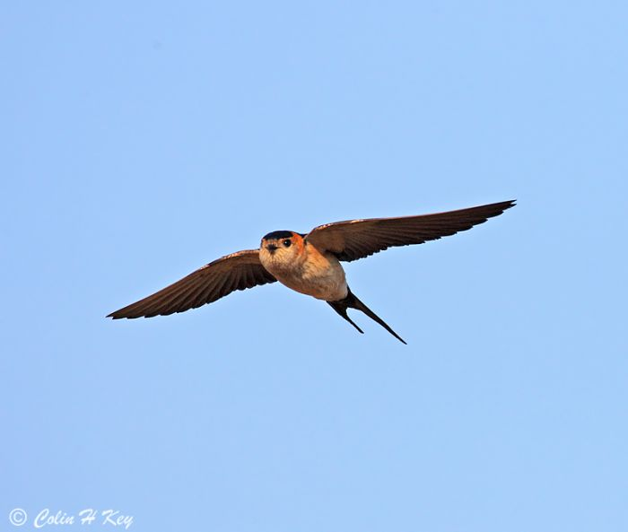 Red-rumped Swallow, Abicada, Algarve, Portugal