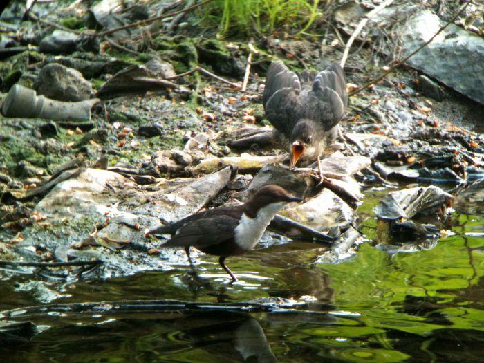 Dipper & fledgling - phone scoped