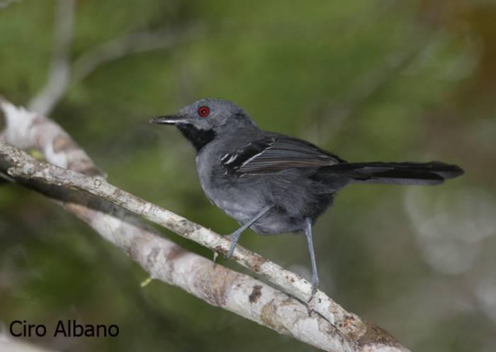 Slender Antbird - Rhopornis ardesiacus