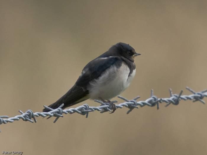 Barn Swallow (juvenile) - Hirundo rustica