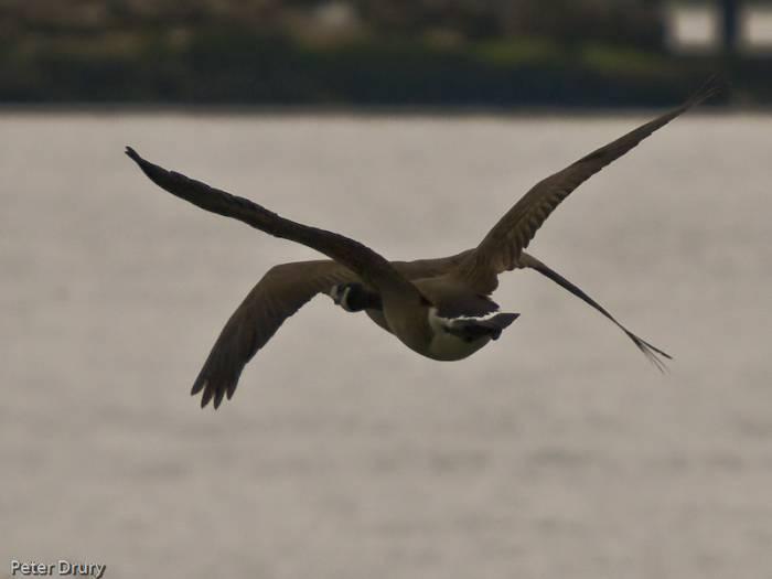 Canada Goose ( Branta canadensis)