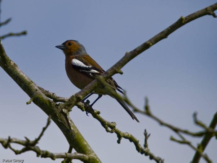 Chaffinch (Male) - Fringilla coelebs
