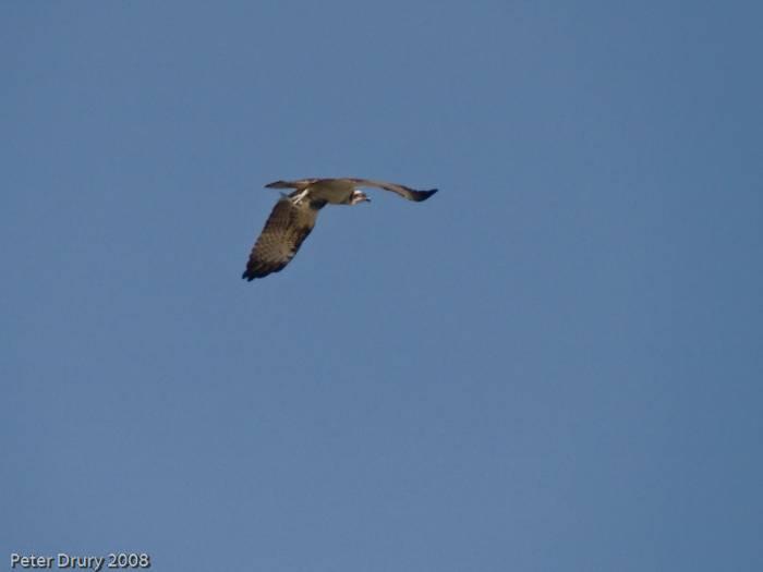 Osprey-Pandion haeliaetus
