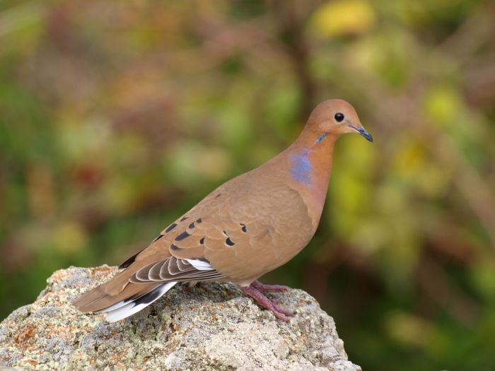 zenaida dove - photo #2