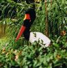 Saddle-billed_Stork_Singapore_s_.jpg