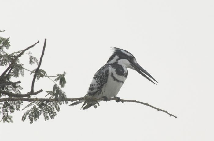 Ceryle_rudis_Pied_Kingfisher_with_Nile_Perch_4