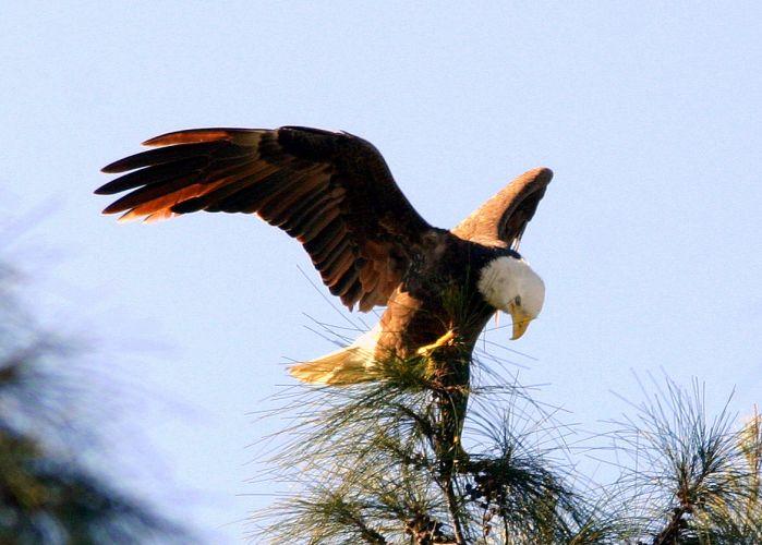 Eagle Wings  Eagle Wings