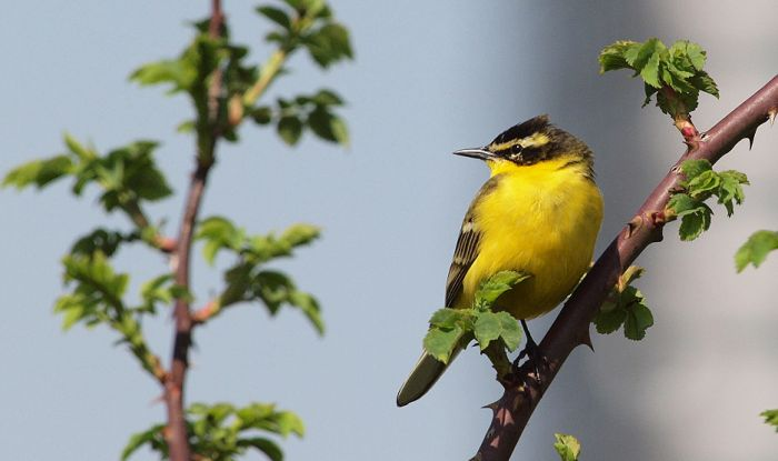 Male Yellow Wagtail