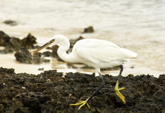 Western_Reef_Heron1