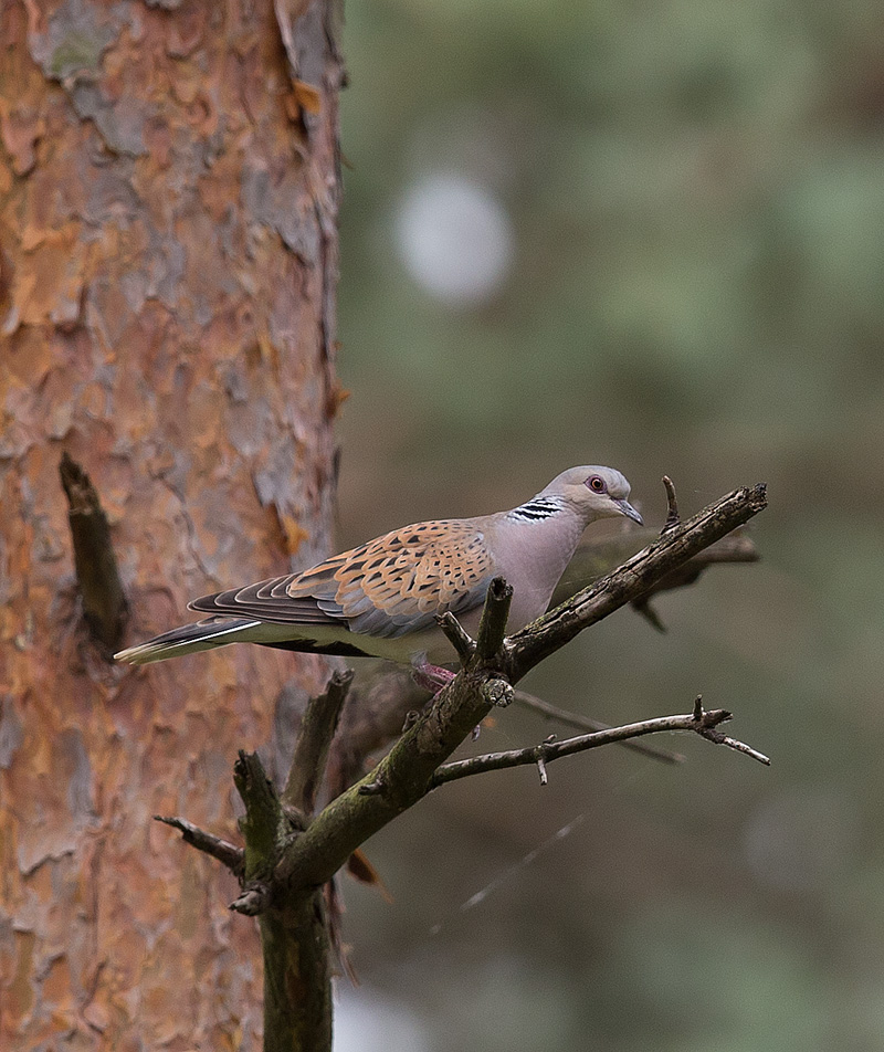 TurtleDove_D7Y0699