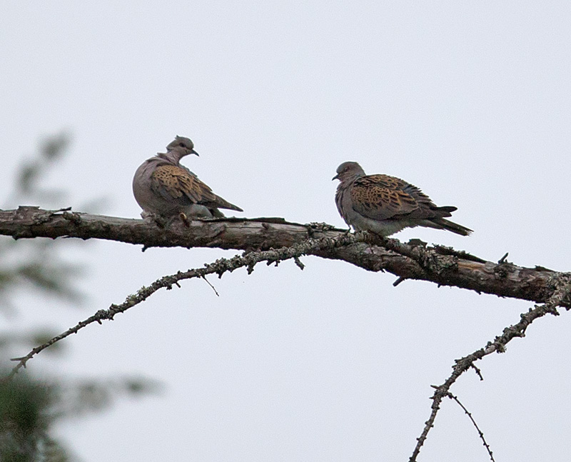 TurtleDove_D7Y1565