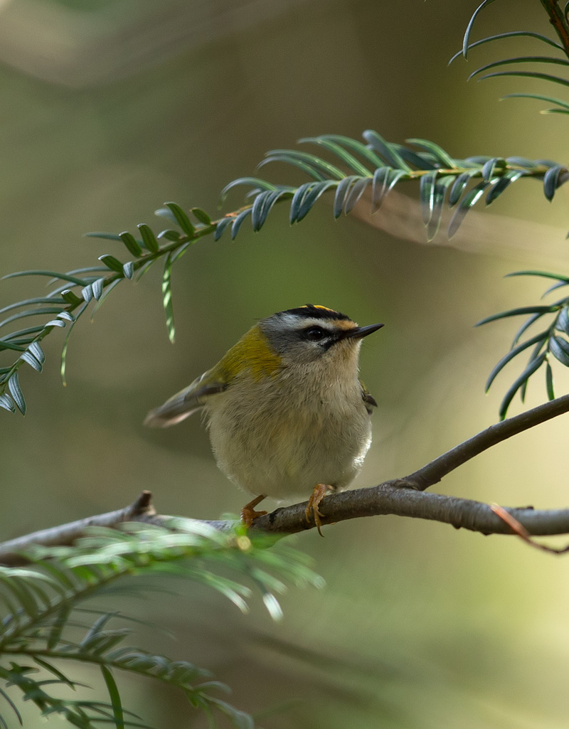 firecrest_D7Y6409