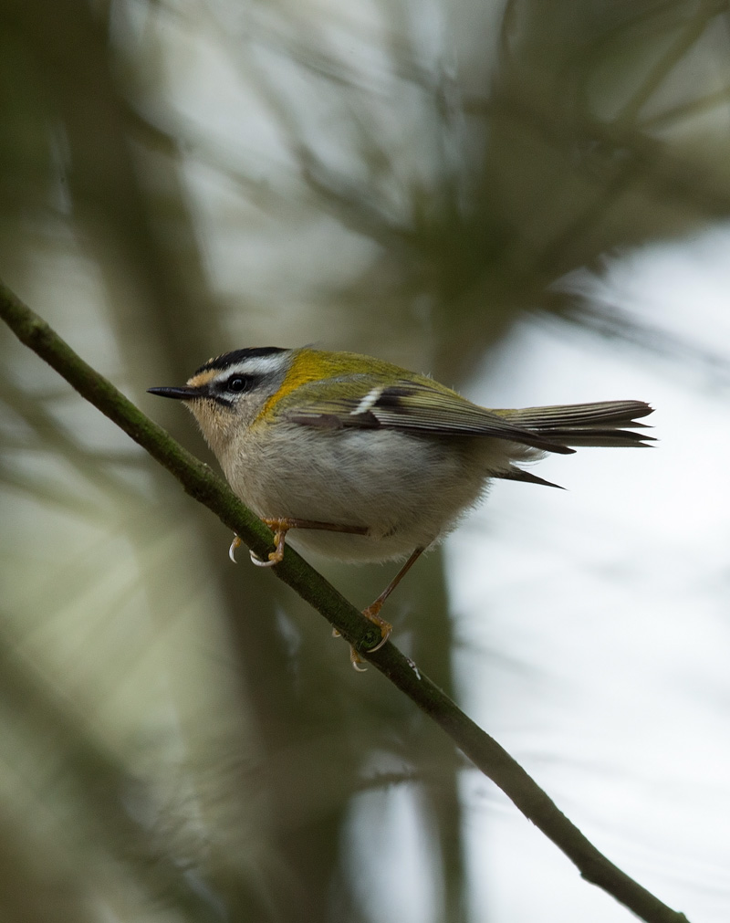 firecrest_D7Y6376