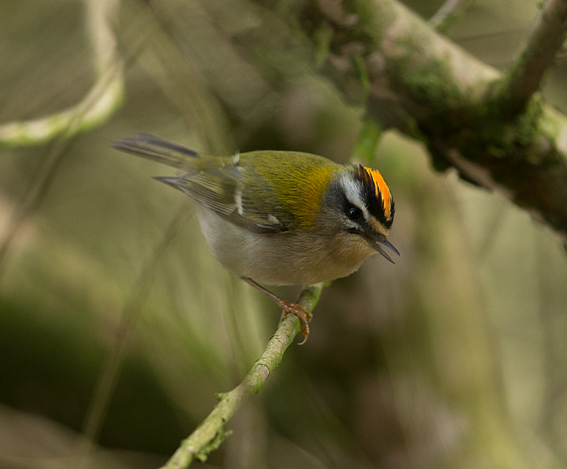 firecrest_D7Y6388