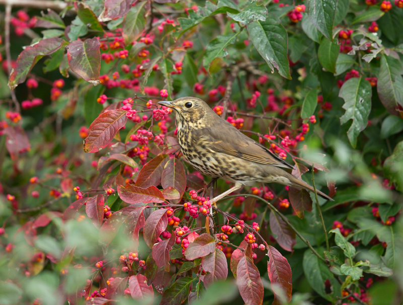 Song Thrush_D7Y9738