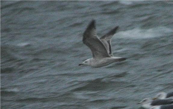 Caspian Gull4