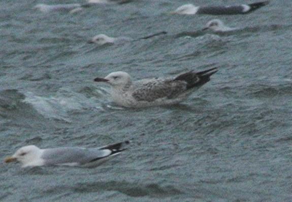 Caspian Gull5