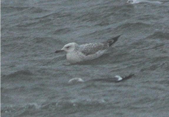 Caspian Gull6