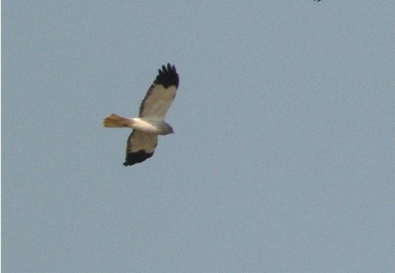 Hen Harrier3