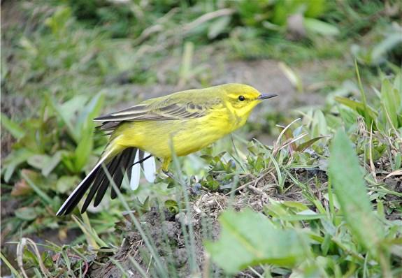 Yellow Wag2