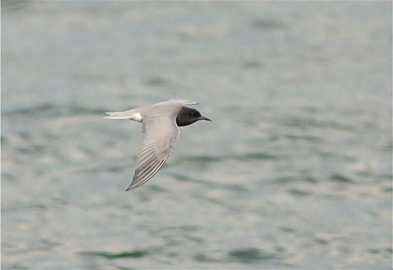 Black Terns3