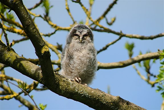 Tawny Owl2