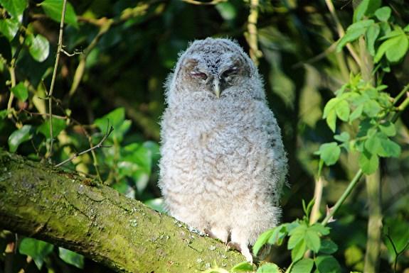 Tawny Owl3