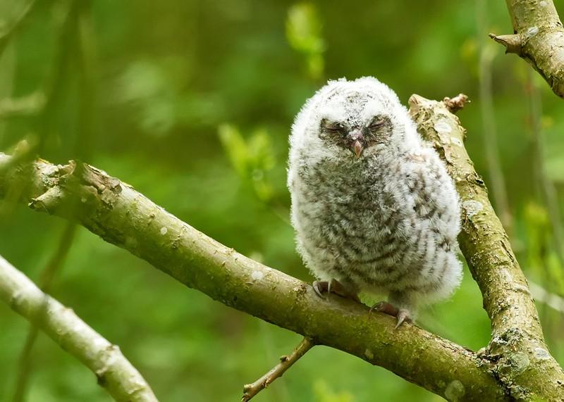 Tawny Owl4