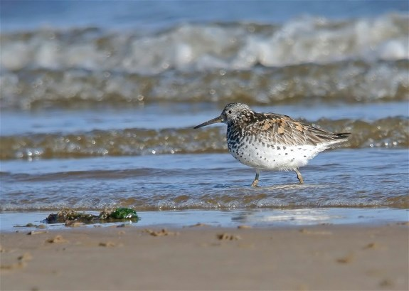 Great Knot2