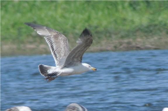 YL Gull2