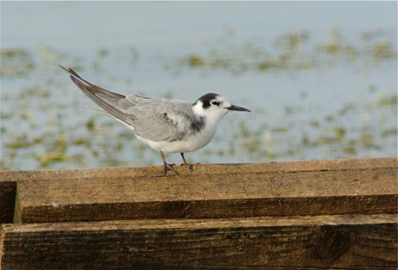 Black Tern2