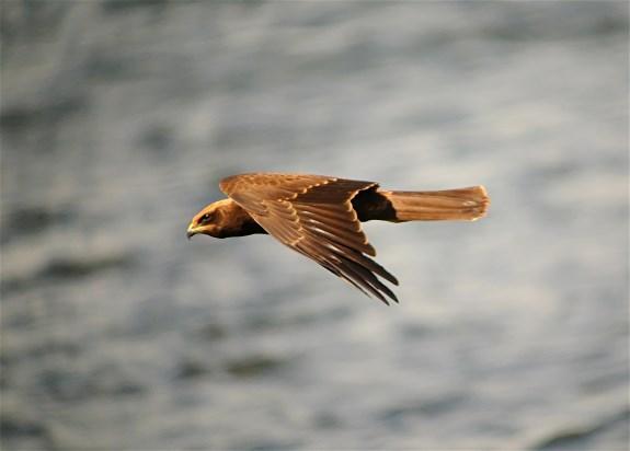 Marsh Harrier7