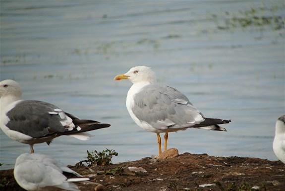 YL Gull3