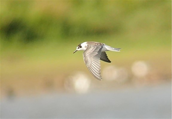 Black Tern3