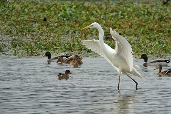 GW Egret