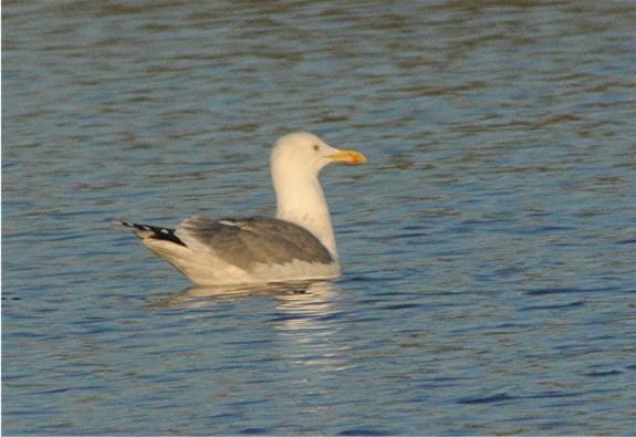 Caspian Gull9