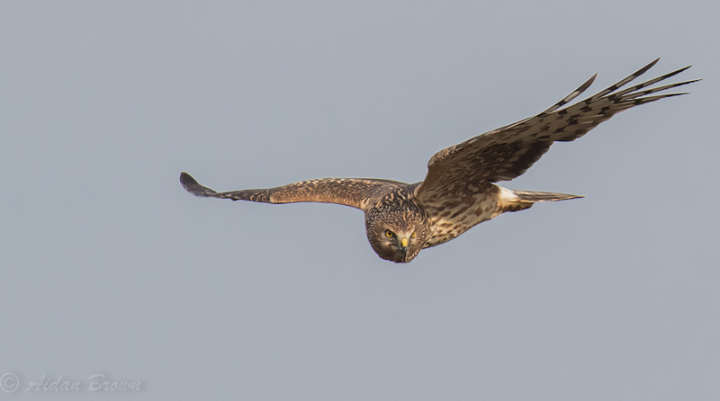 Hen Harrier 2