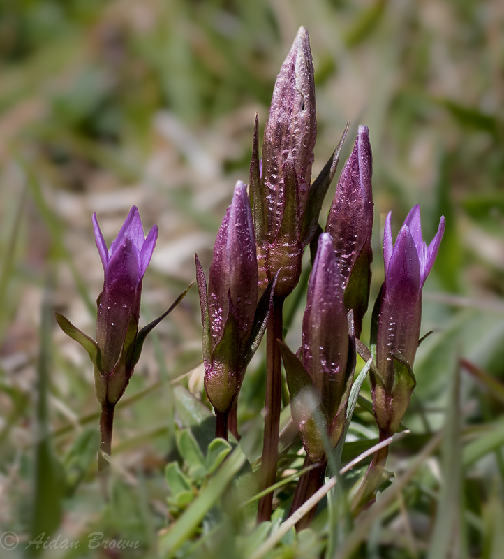 Early Gentian