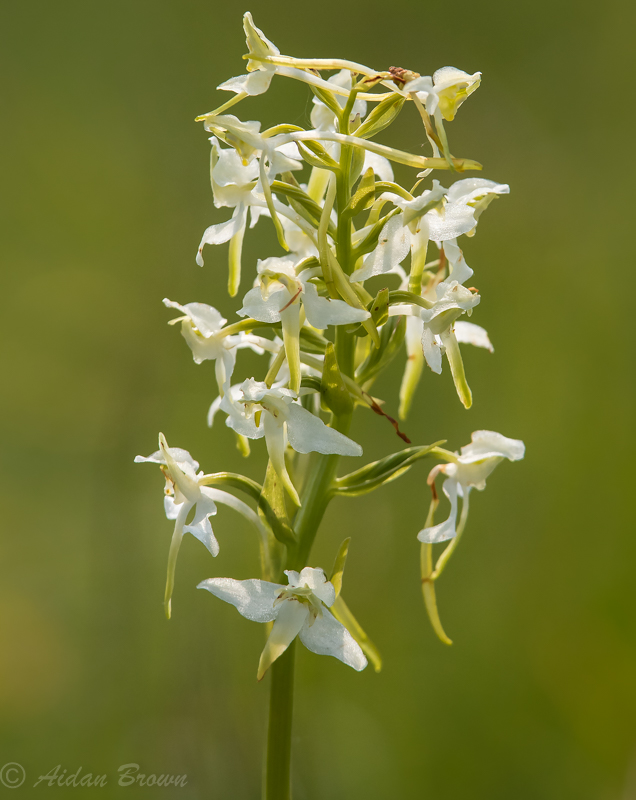 Greater Butterfly Orchid s