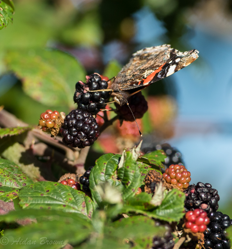 Red Admiral s