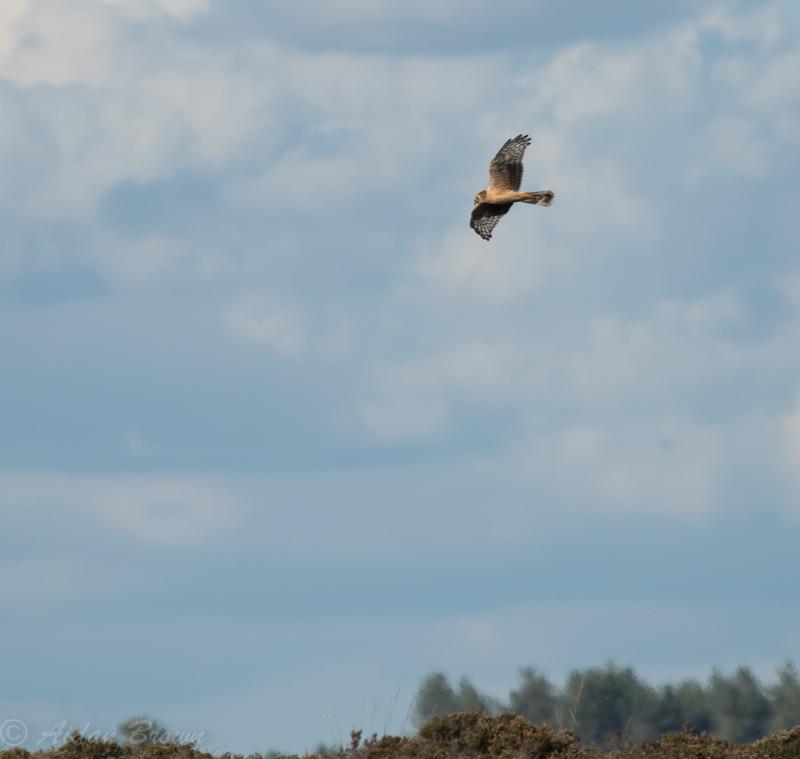 Harrier Hen