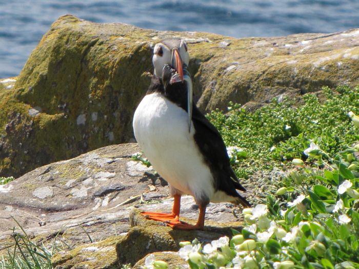 The Farne Islands 100s Of Arctic Tern On Inner Farne