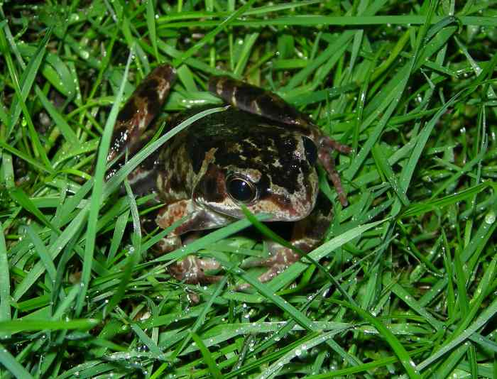 Common Frogs in the Garden Three Amigos Birding