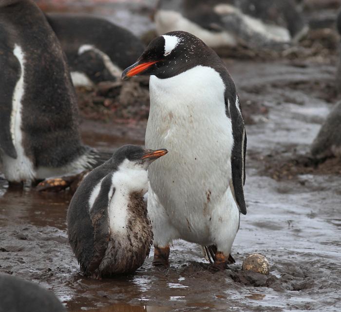 gentoo penguin gentoo penguin colony at berthas beach east falkland three