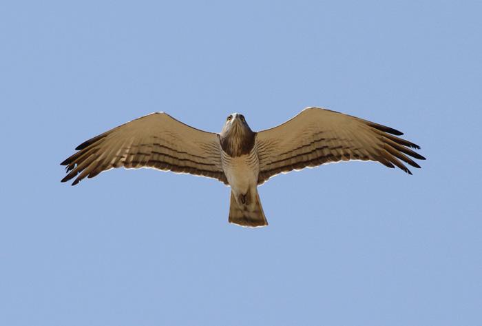 Beaudouins snake eagle - photo#6
